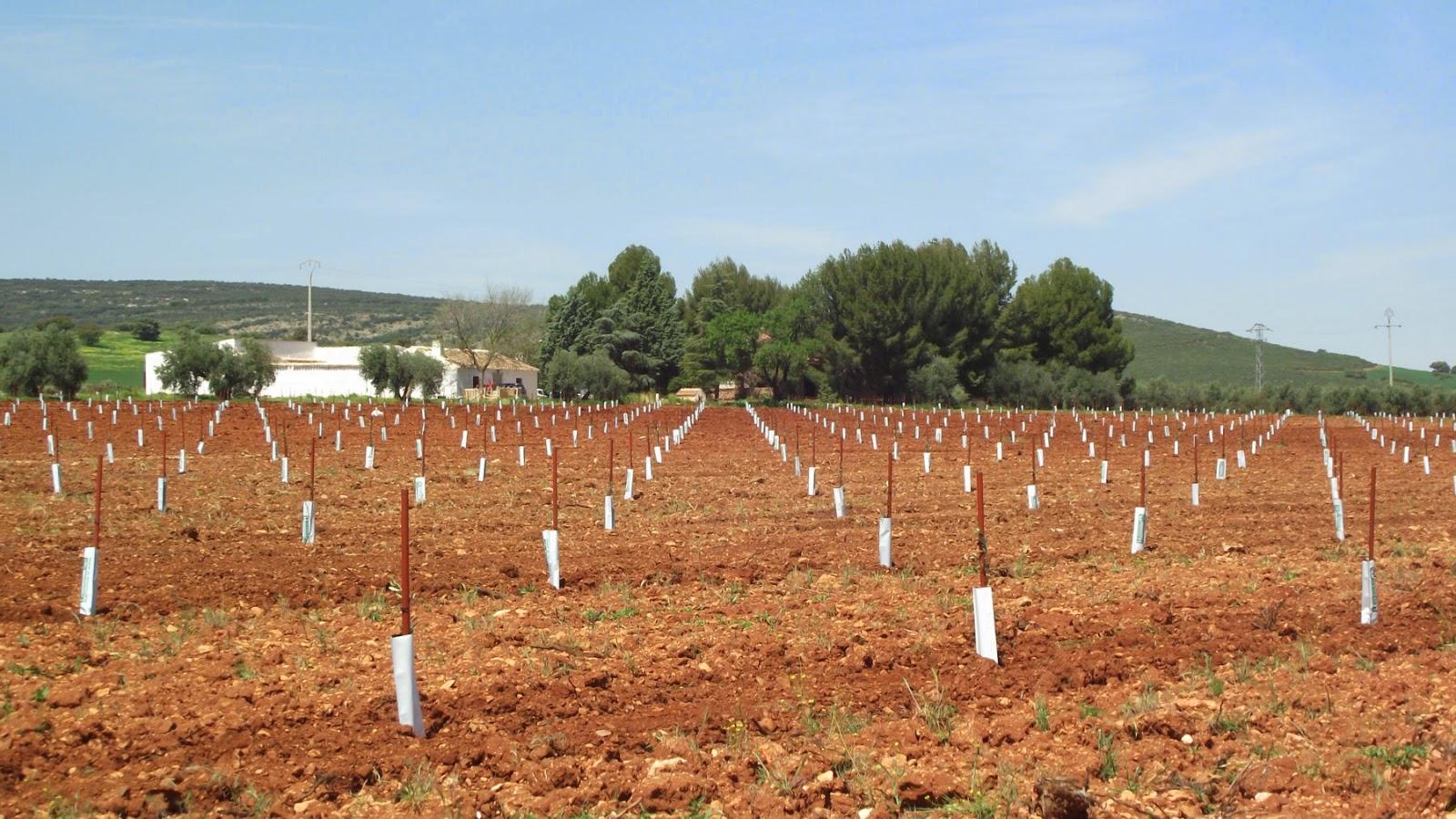 Plantación de olivar con tutor sintético