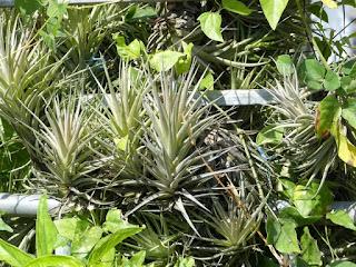 Tillandsia aeranthos - Fille de l'air