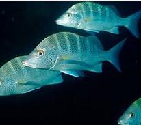 Ikan Hias Air Laut snappers