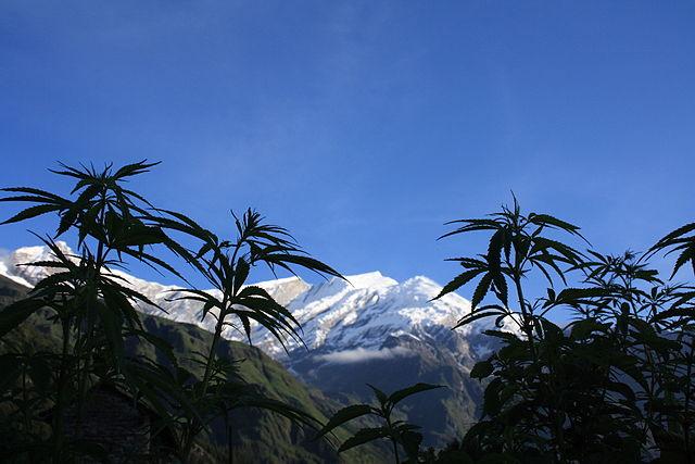 marihuana en el Himalaya, Cannabis salvaje