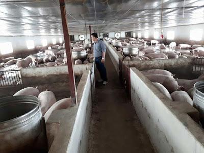 Sau nhiều cuộc giải cứu, người nuôi lợn vẫn phải chịu lỗ.