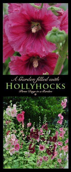 A Garden filled with Hollyhocks