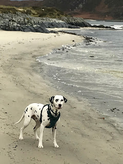 dalmatian dog on beach