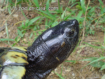 Macho adulto negro de Trachemys scripta elegans