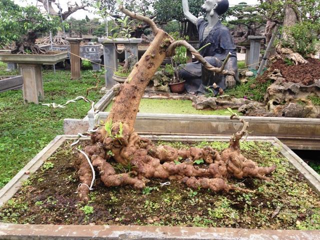 Bộ rễ có một không hai như những củ sâm hàng trăm năm tuổi đang... bò trên mặt đất.