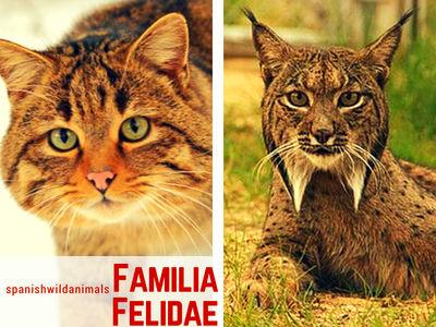Felidos ( Familia Felidae) de la Península Ibérica: El Gato Montes y el Lince Ibérico