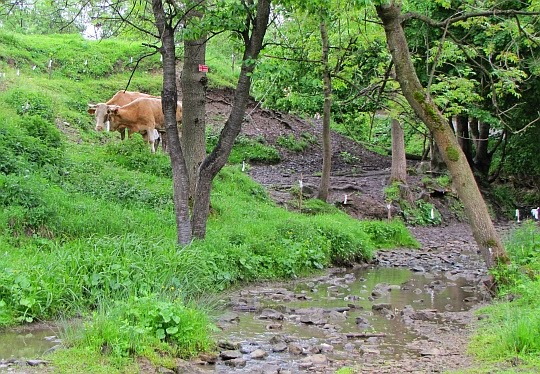 Krowy.