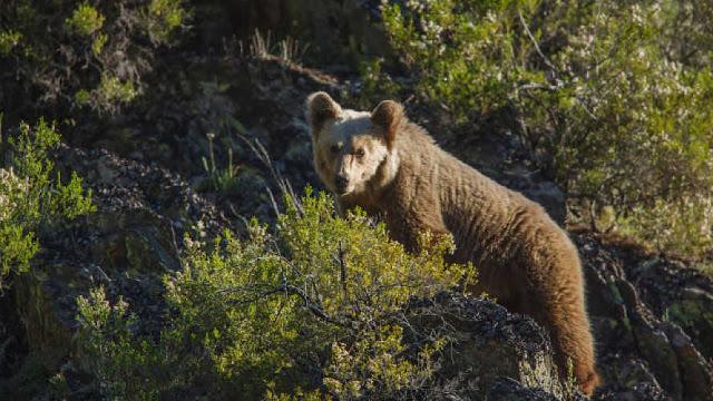 Fotograma de la película: Cantábrico. Los dominios del oso pardo (2016)
