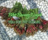 Jual bibit bawang dayak di Semarang