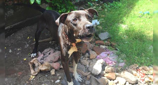 Rescatan a un pitbull con cadena incrustada en el cuello