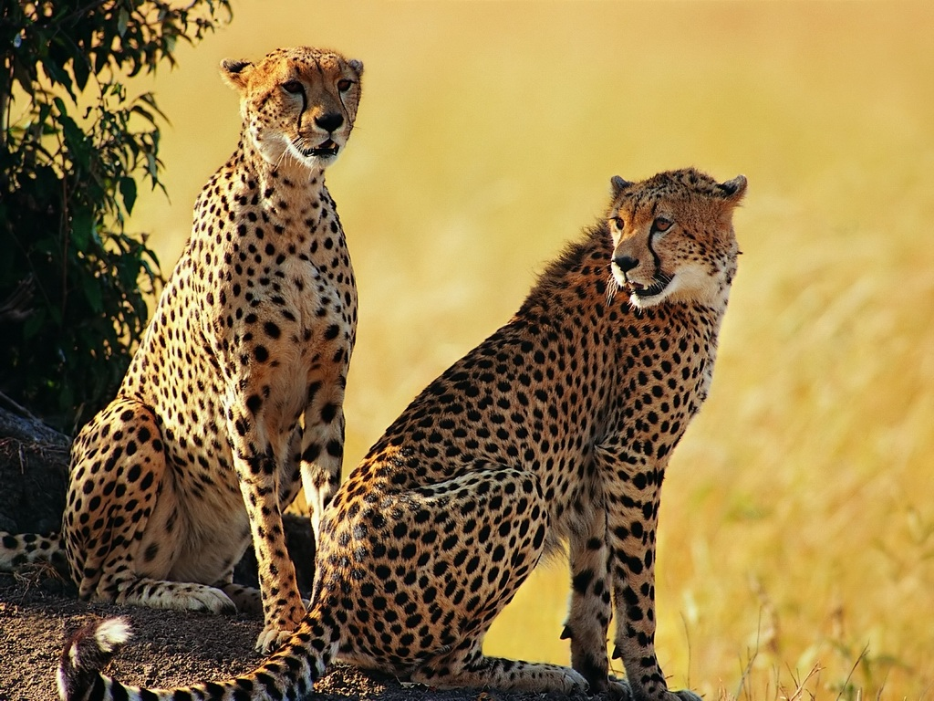 cheetah wallpapers animal cool wildlife information