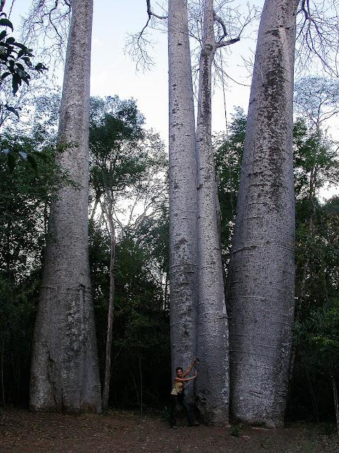Adensonia madagascariensis