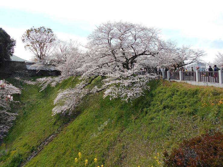 千鳥が淵の桜2