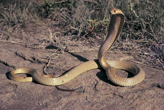 King Cobra Snake Photos: Animals World: Amazing Cobra Snake