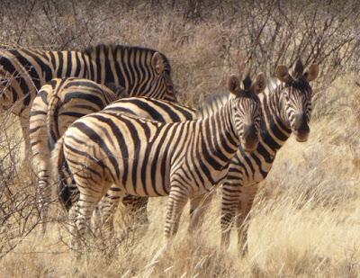 Zebre di Hartmann al Lapa Lange