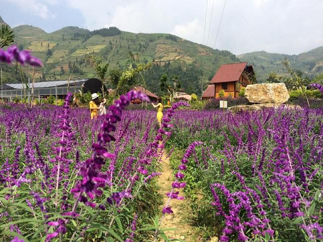 Lavender harvest season in Lao Cai 2
