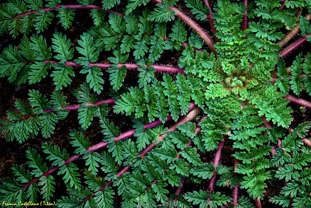 Planta rastrera