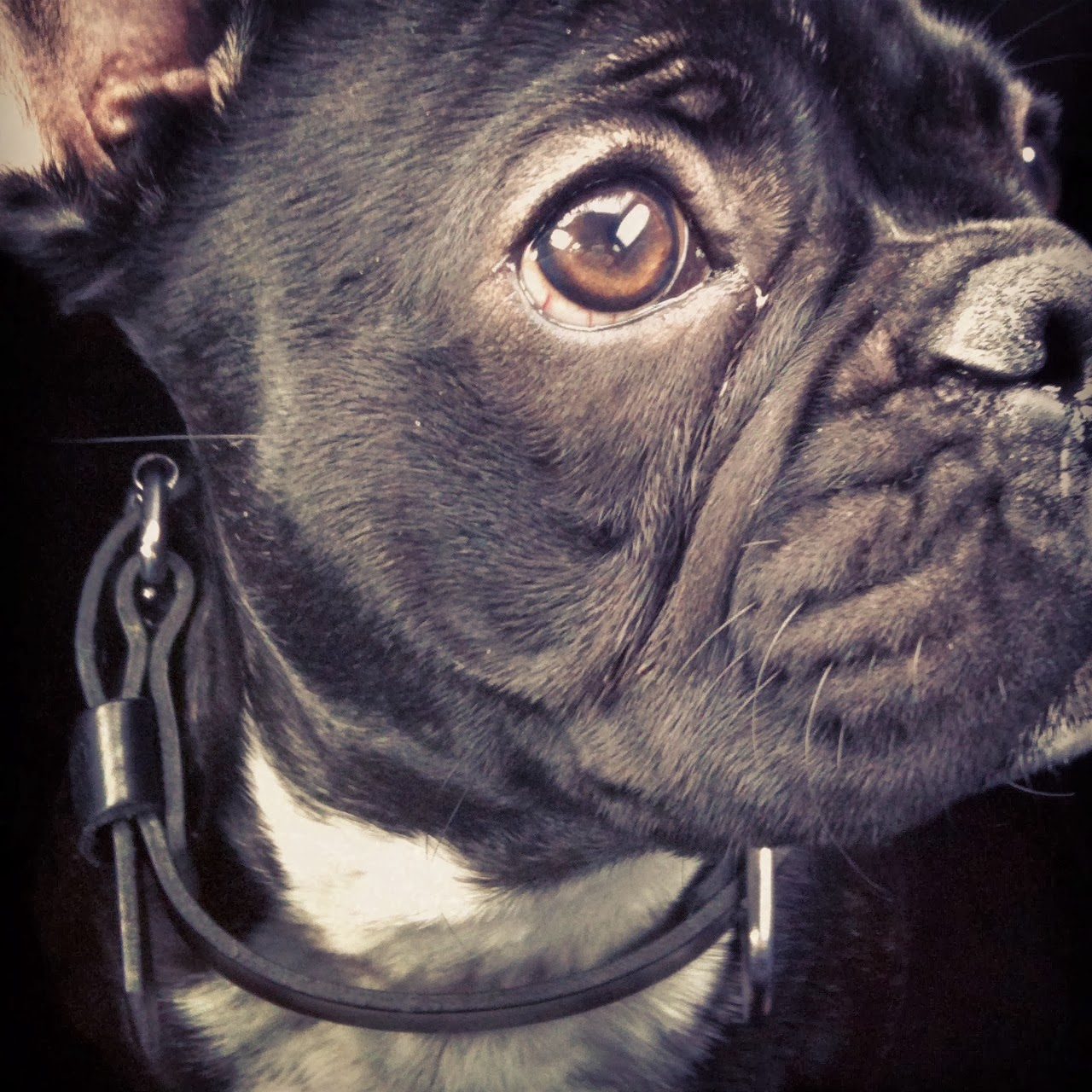expression bouledogue francais, photo portrait bouledogue