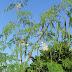 தாய்மார்களின் பால் சுரப்பிற்கும் ஆண்களின் உடல் வலிவிற்கும் பயண் தரும் முருங்கைப்பூ