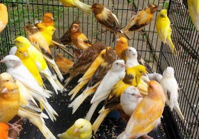 Daftar Harga Burung Kenari Terbaru Saat Ini Di Tahun 2019 Paling Lengkap