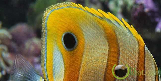 Butterfly Fish (Ikan Kupu-Kupu)
