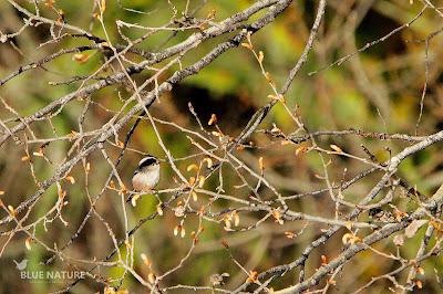 Mito común - Long-tailed tit - Aegithalos caudatus Aunque no realice ningún viaje migratorio este pajarillo familiar también es de los más pequeños, aunque no lo parece con la longitud de su cola.