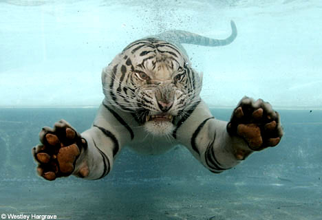 Funny Wallpapers Hd Wallpapers Cute Baby White Tigers
