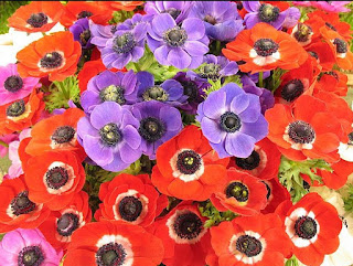 Anemone Flowers are Many Legends