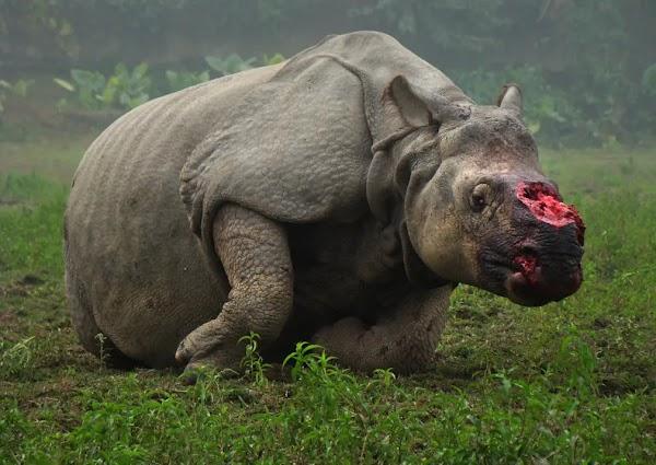 La India autoriza a matar cazadores para proteger a los rinocerontes.