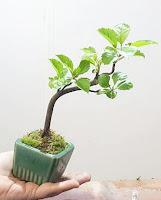 www.bonsaicenter.es