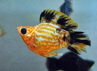 Gambar Ikan Balon (molly), Alternatif jitu buat mancing ikan lele