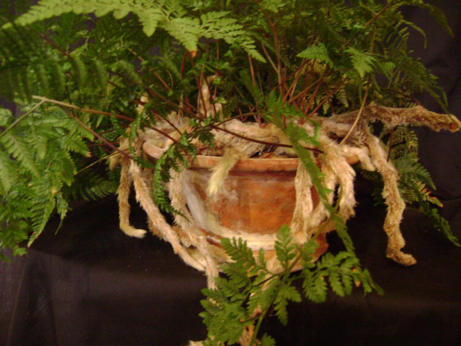 Houseplant Guru: Ferns with Feet on rabbit foot fern, goose foot house plant, elephant foot house plant, rabbit foot green,