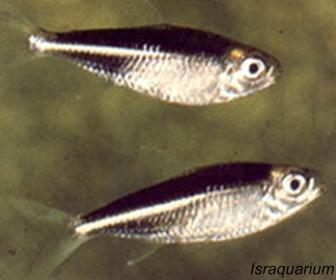 Black Jacket Tetra atau Moenkhausia Takasei