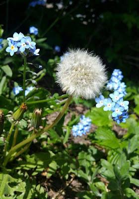 pissenlit-fleurs-bleues-milieu-jardin-printemps