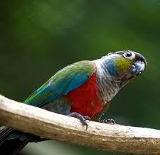 burung conure