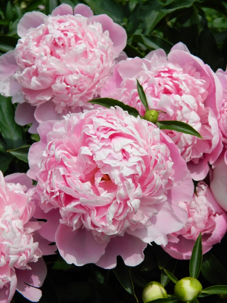 Paeonia lactiflora Sarah Bernhardt by garden muses-not another Toronto gardening blog