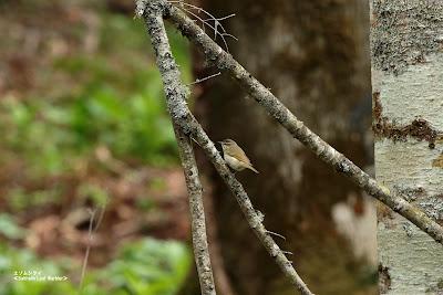 エゾムシクイ ≪Sakhalin Leaf Warbler≫