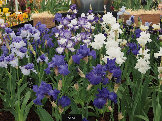One section of Cayeux's bearded iris exhibit