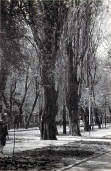Султановские тополя на бульваре Крым-Гирея в Симферополе