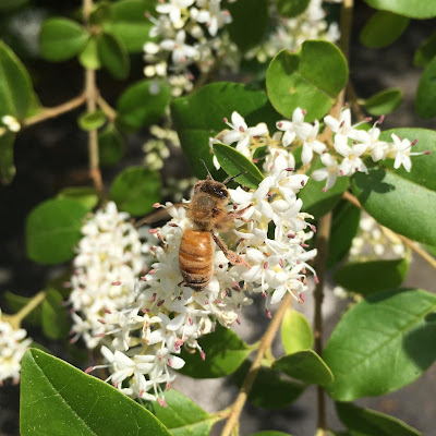 bee, beekeeping, bloom, foraging, privet, spiderwort, tulip poplar,