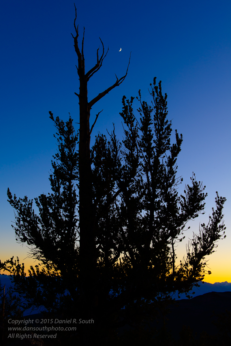 a photo of a Crescent Moon Setting Over a Bristlecone Pine