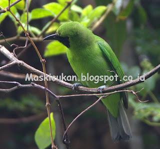 Meningkatkan volume burung cucak hijau