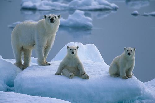 Polar bears on ice floe by Paul Goldstein