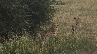 gepardi, mashatu, afrikka, botswana, safari, riitta reissaa
