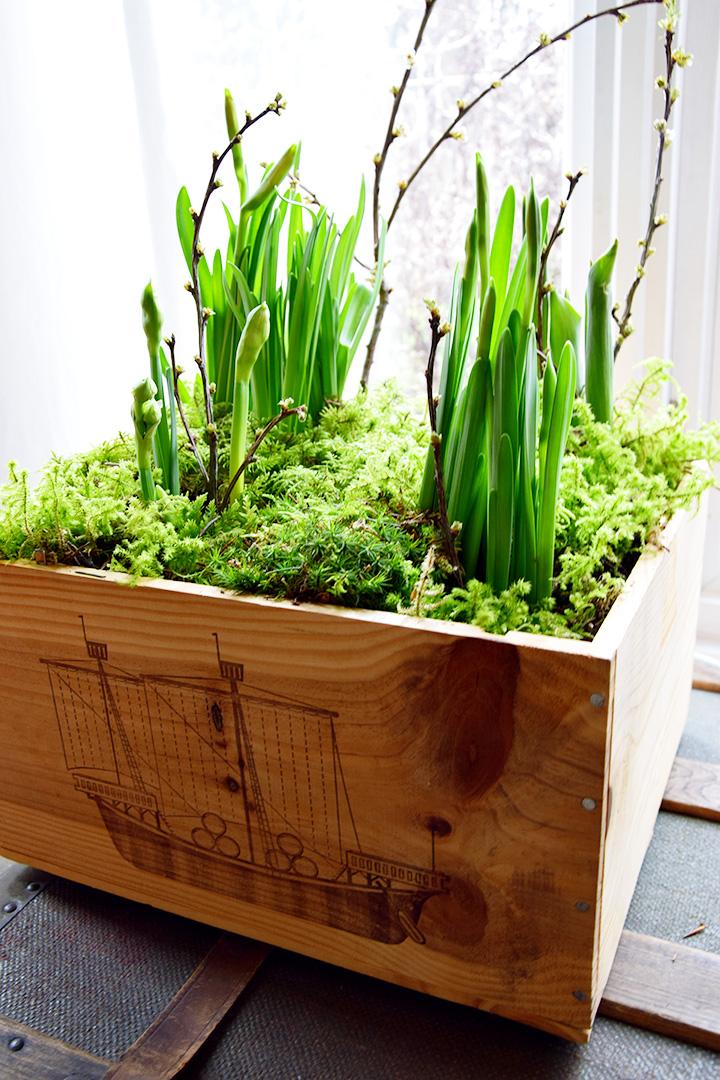DIY Frühlinksdeko Selbermachen: Frühlingsblüher, Zwiebeln, Moos und Weinkiste. Einfach schnell und Selbstgemacht, Tulpen, Osterglocken, natürliche Deko, Dekoration mit Natur