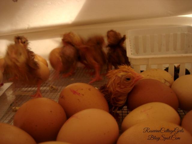 #eggs #hatchingchicks #chickens #chicks