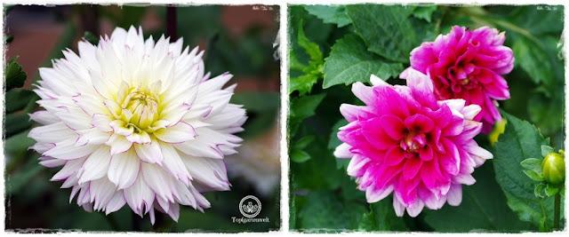 Gartenblog Topfgartenwelt Buchvorstellung: Traumhafte Landgärten durch die Jahreszeiten - Dahlien