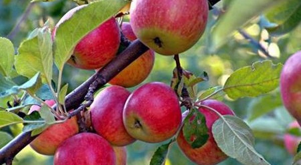 محصول التفاح في السويداء بخطر!
