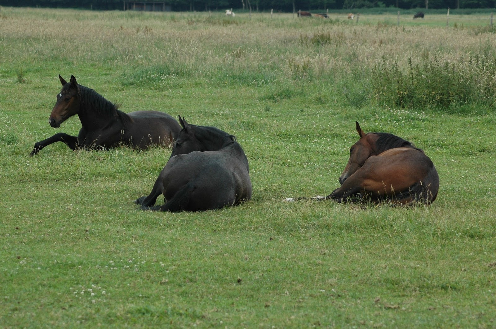 Three Bay horses lying down in a field