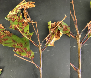 Oaks leave dying and turning light brown due to fungus infection